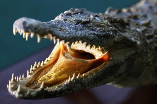 В музей поступило чучело крокодила